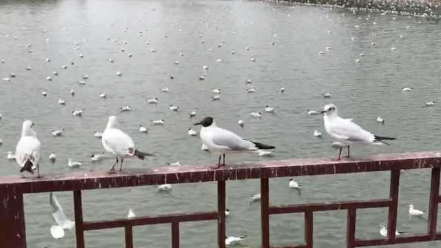 迁徙季!红嘴鸥穿
