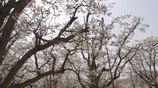这里号称世界第1古梨园,1棵树5人抱