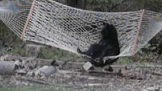 黑熊看到吊床爬不上去,帮帮忙啊
