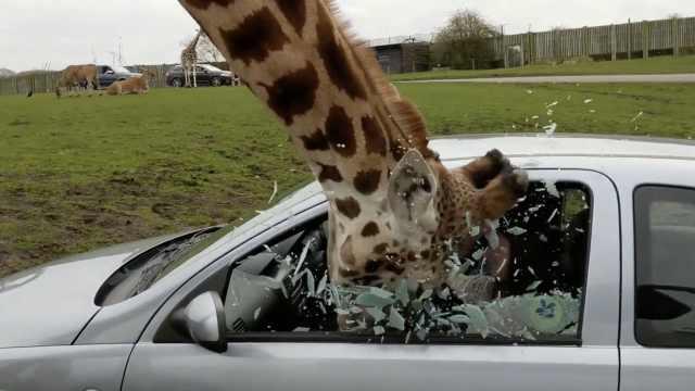长颈鹿心急吃美食,撞碎游客玻璃