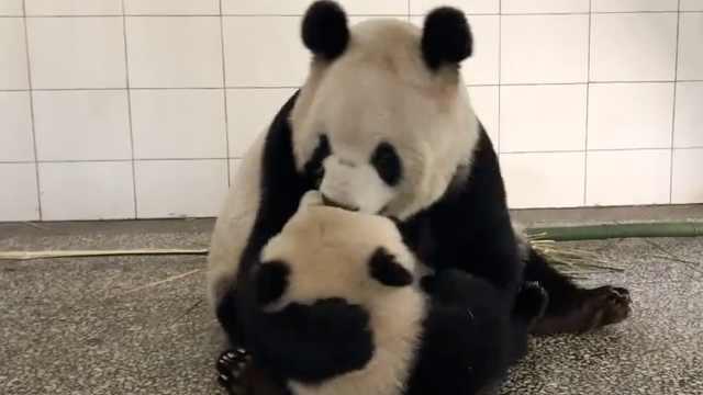 孩子能当玩具耍?这事熊猫能做出来