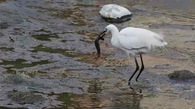 【秒拍大自然·20期】 小白鹭捉泥鳅