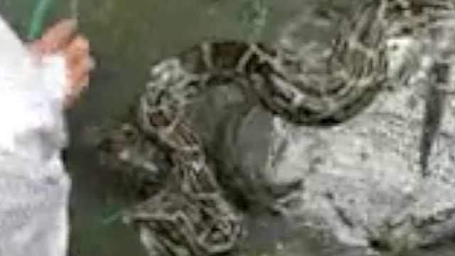 数米巨蟒误入渔笼,村民救起后放生