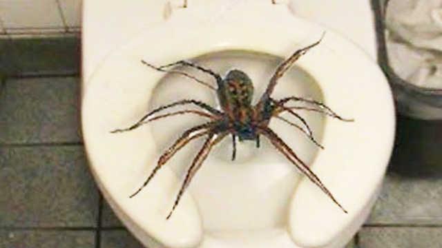 巨型蜘蛛,你见过吗?