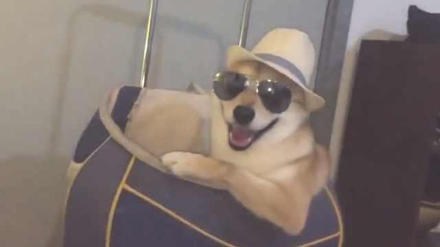 狗狗精心装扮,准备去海滩