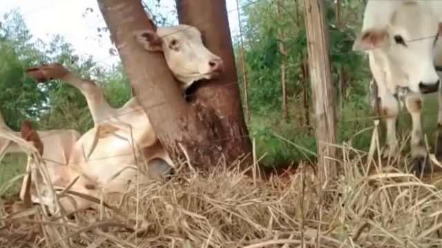 生无可恋!牛头卡在树杈里无法动弹