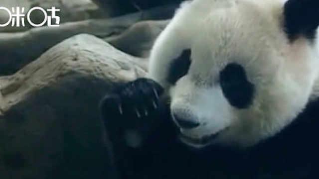 熊猫惊:节后惊变盹盹懒懒熊