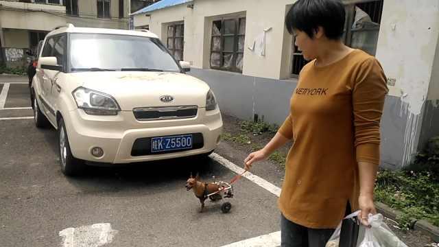 她每天带瘫痪狗狗遛弯:它像我孩子