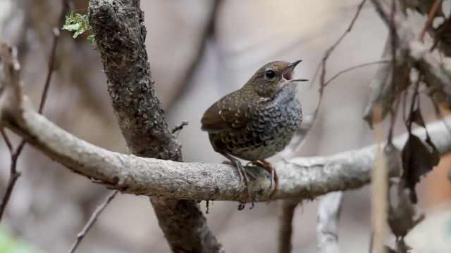【秒拍大自然·23期】小鳞胸鹪鹛