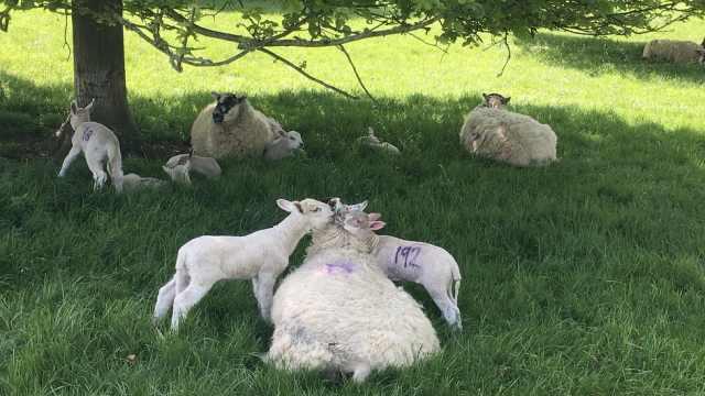 丘吉尔庄园放养绵羊,羊宝宝超粘!