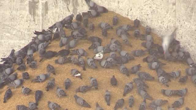泰国鼓励吃鸽子:粪便泛滥传播疾病