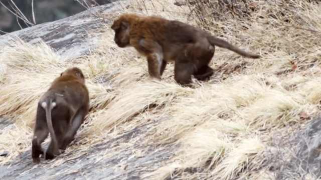 【秒拍大自然·28期】熊猴一家