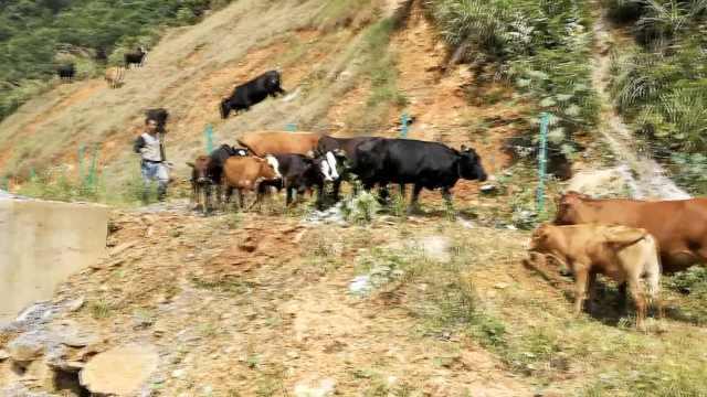 放牛倌太随意,竟让牛群上高速觅食