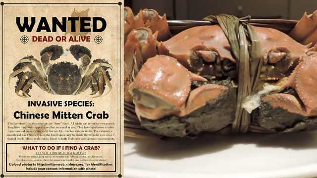 大闸蟹入侵美国,马里兰州发通缉令