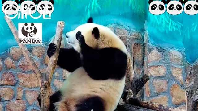 萌系大熊猫,浑身都是戏!