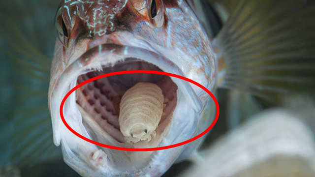 鱼的舌头是一条寄生虫,是真的吗?