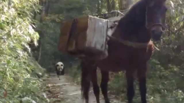 马与熊猫狭路相逢,对峙后落荒而逃