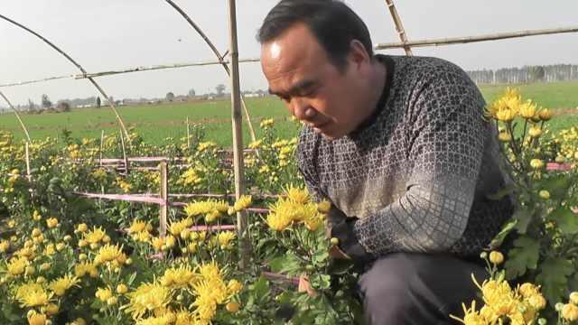 他合伙种菊花亏完,独种15亩竟赚翻