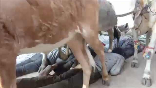 真疼!印度人为求好运,趴地让牛踩