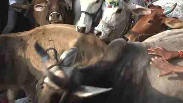 印度人集体趴地被牛踩:会带来好运
