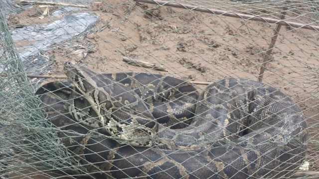 巨蟒贪吃被困,30斤重撑爆村民渔网