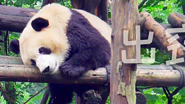 萌萌的大熊猫,太可爱了!