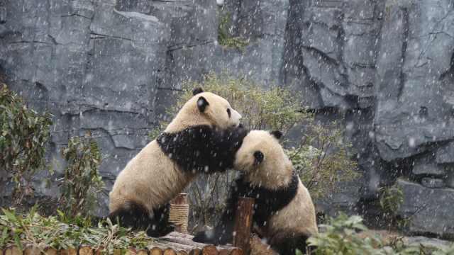 大熊猫第一次见北方雪,嗨得忘吃饭