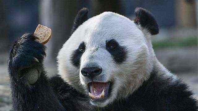 """大熊猫:""""最熟悉""""的""""陌生熊"""""""