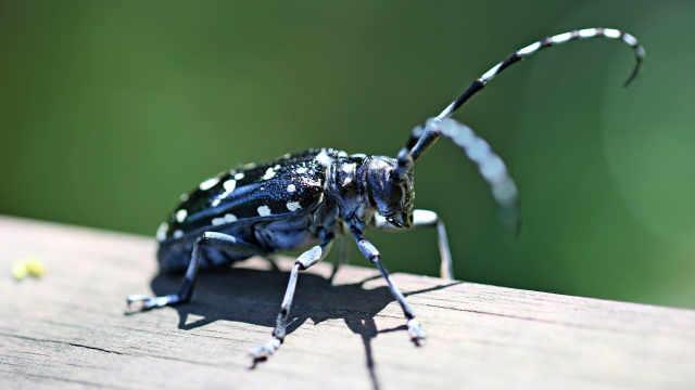 昆虫小百科之天牛