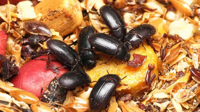 直播:养10亿只蟑螂,分解厨余垃圾