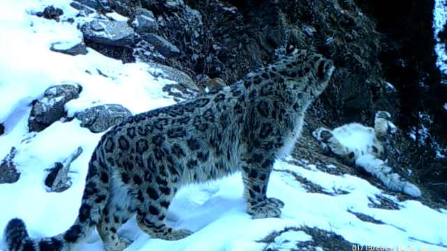 低海拔林区捕捉雪豹影像,呆萌打滚