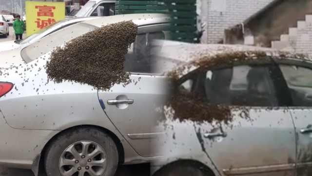 车主想哭!蜂王不肯走,蜂群围攻小车