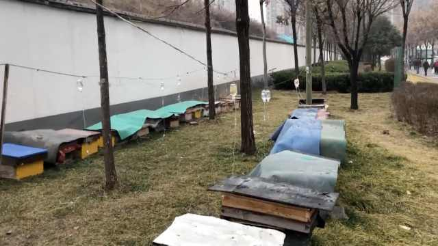 7旬翁城市绿化带养蜂,还挂满