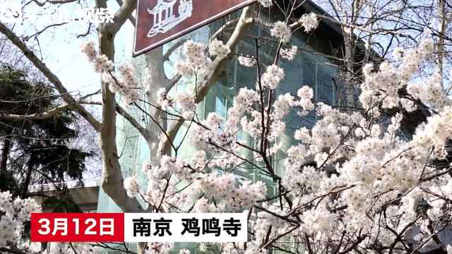 """南京鸡鸣寺""""消息树""""开了!"""