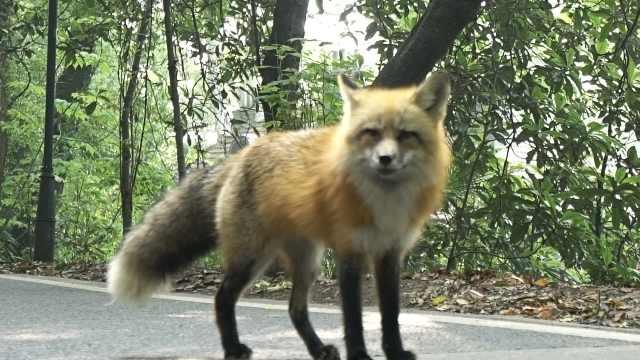 武大找珞珈山狐狸代言招生萌倒网友