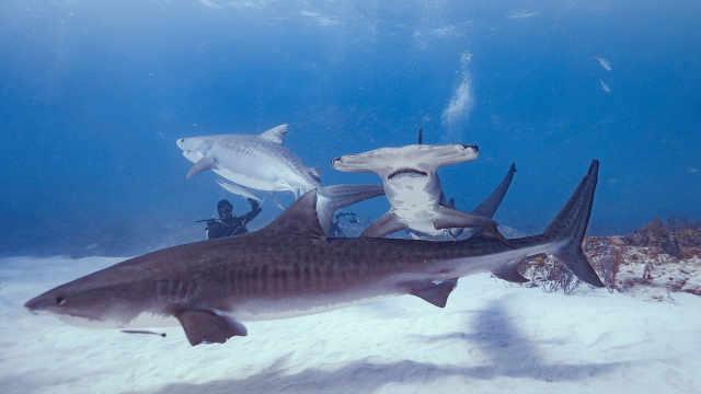 潛泳時遭3條鯊魚襲擊,21歲女孩死亡