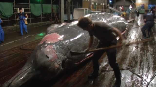日本高价拍卖鲸鱼肉:1500元一公斤