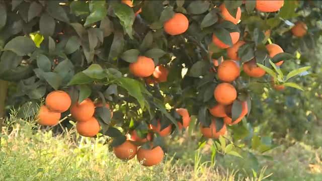 不止褚橙!云南新平柑橘火遍国内外
