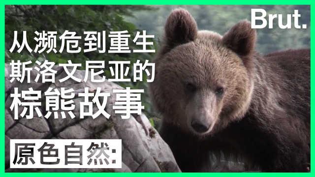 一度濒危:斯洛文尼亚棕熊的复兴