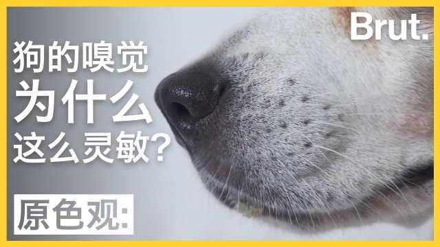 狗的嗅觉为什么这么灵敏?