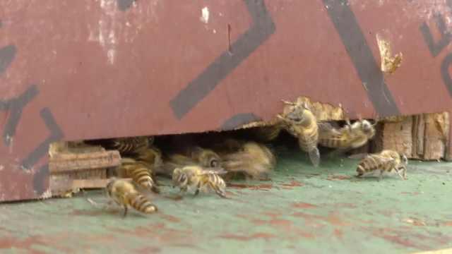 老人小区养50箱蜜蜂:咬死人我负责