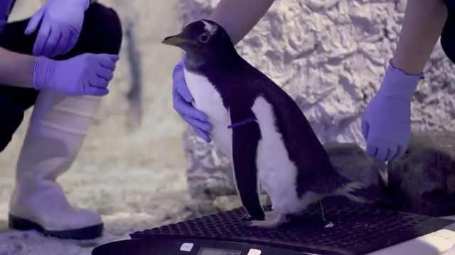 同性企鹅情侣抚养无性别宝宝引争议