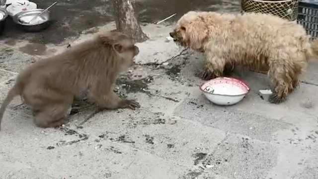 熊猴进村被溺爱,竟欺负人畜惹人恼
