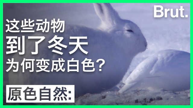 这些动物到了冬天为何变成白色?