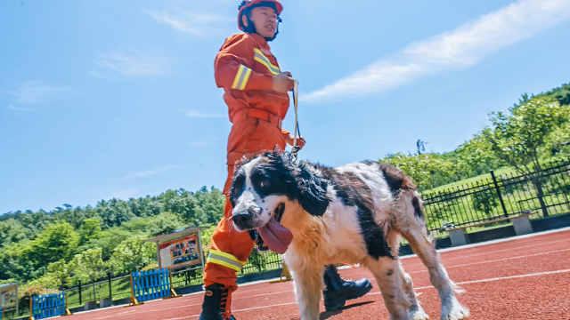 汶川地震搜救犬仅1只在世:它叫冰洁
