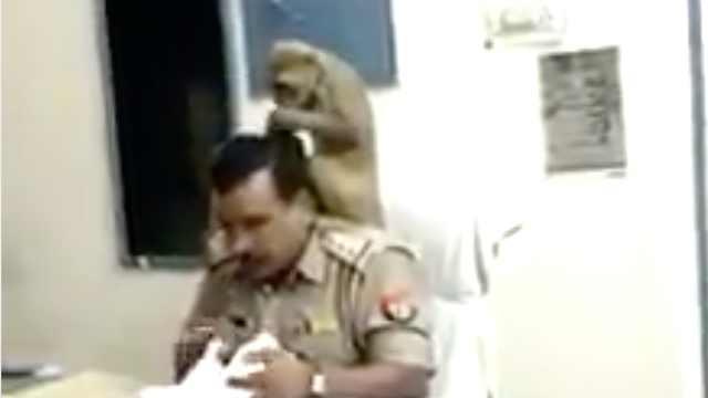 神!印度猴子跑进警局帮警察理头发