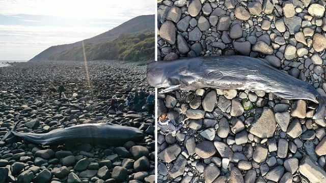 英国海滩现死鲸,胃内大量塑料垃圾