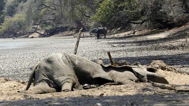 津巴布韦干旱,105只大象缺水死亡