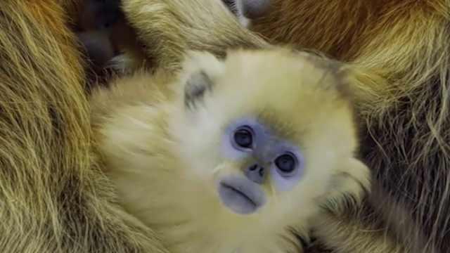 BBC纪录片拍到川金丝猴珍贵画面!