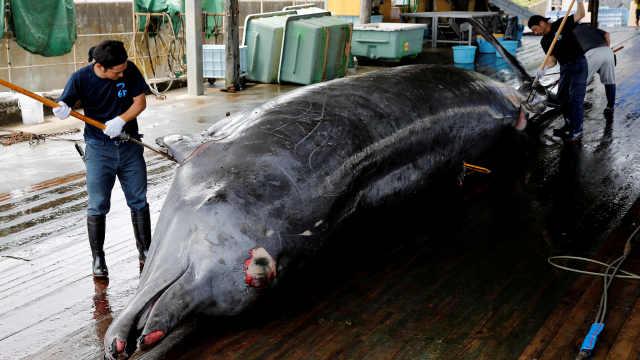 吸碳小能手!一只鲸相当于几千棵树